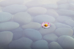 Flower on water over stones Stock Images