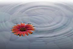 Flower on water over stones with ripples. Flower on Water in peaceful setting with stones in background and ripples Stock Photos