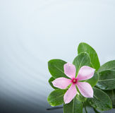 Flower and water ripple. Flower and leave against water ripple Stock Images