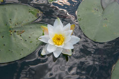 Flower on the water Royalty Free Stock Photos