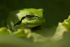 Green tree frog. Tree frog sitting in the sun royalty free stock photo