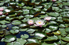 Flower of waterlilies flowering on small lake detail photography Royalty Free Stock Image