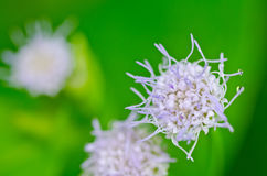 Flower weed in green nature Stock Photos
