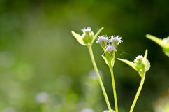Flower weed in green nature Stock Photography
