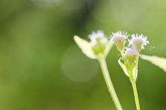 Flower weed in green nature Royalty Free Stock Images
