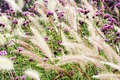 Flower and wheat Royalty Free Stock Photos