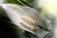 Flower white Royalty Free Stock Photos