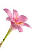 Flower on white. (Zephyranthes grandiflora Stock Photo
