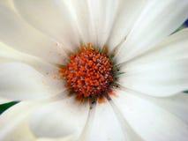 Flower white. White flower, red centre Stock Image