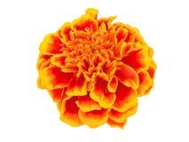 Flower on white Stock Image
