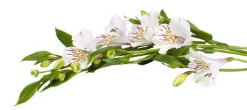 Flower white Alstroemeria Stock Photo