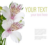 Flower of white alstroemeria, ready template Stock Image