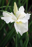 Flower, White bearded iris. White bearded iris in a garden after rain Royalty Free Stock Photo