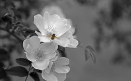 Flower, White, Black And White, Monochrome Photography Stock Photo