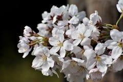 Flower, White, Blossom, Cherry Blossom Royalty Free Stock Photography