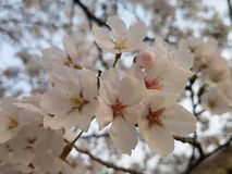 Flower, White, Blossom, Pink Stock Photos