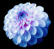 Flower white-blue dahlia  black isolated background with clipping path. Dew on petals. Stock Photo