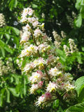 Flower of white chestnut tree Royalty Free Stock Photo