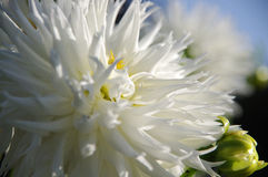 Flower white chrysanthemum. Background ,texture Stock Photo