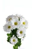 Flower a white chrysanthemum bush. On a white background Royalty Free Stock Photos