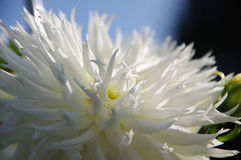 Flower white chrysanthemum. On dark background Royalty Free Stock Image