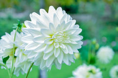 Flower white chrysanthemums Stock Image