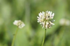Flower white clover. Stock Photo