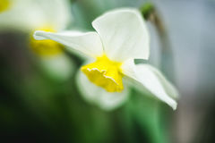 A flower of white color, a daffodil around a soft bokeh. Flower white color, a daffodil around a soft bokeh Royalty Free Stock Photography