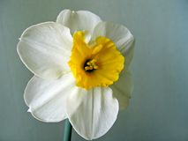 Flower of white daffodils (narcissus). Close-up of beautiful white daffodils (narcissus Stock Photography