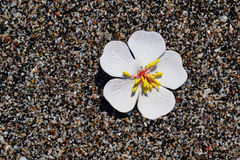Flower. White delicate flower on the beach Royalty Free Stock Photography