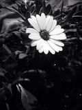 Flower, White, Flora, Black And White Royalty Free Stock Photos
