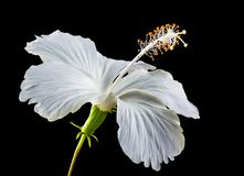 Flower, White, Flowering Plant, Plant Royalty Free Stock Images