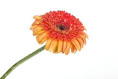 Flower on a white Gerbera. Yellow flower Gerbera on a white background Stock Photo