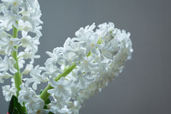 Flower of white hyacinth isolated on grey Stock Images