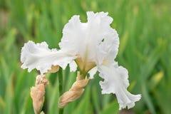Flower white iris Royalty Free Stock Photo