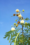 Flower of white leadtree Royalty Free Stock Image
