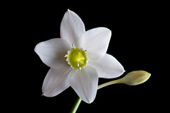 Flower white lilies Royalty Free Stock Photo