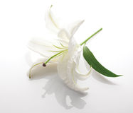 Flower of a white lily Stock Photo