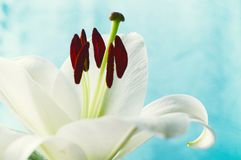 Flower of white lily, in latin Lilium Navona. Shallow DOF. Flower background with white lily flower. Flower of white lily, in latin Lilium Navona. Shallow DOF Stock Image