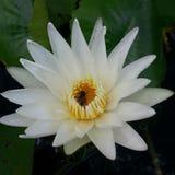 Flower. White lotus and bee at Chantaburi Thailand Royalty Free Stock Photography