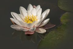 Flower white lotus. In the dark water Royalty Free Stock Photos