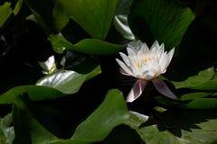 White lotus - Nelumbo nucifera. Flower of a white lotus - Nelumbo nucifera Royalty Free Stock Photography