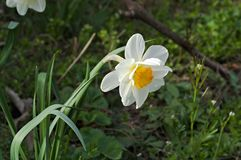 Flower White Narcissus in garden. White narcissus from my garden flourished in the spring Stock Photo
