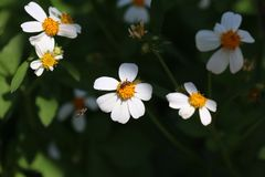 Nature background. Bees and the white flower stock images