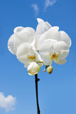 Flower white orchid Royalty Free Stock Image