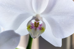 Flower white orchid Stock Images
