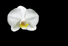 Flower white orchid on black background close up Stock Image