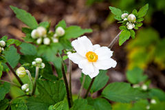 Flower with white petals Anemone Hupehensis Royalty Free Stock Images