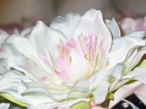 Flower, White, Pink, Flowering Plant Stock Photography