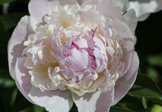 The flower of a white and pink peony with a raspberry edging lit by the sun against the background of a green bush stock images
